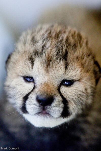 Jeden z małych gepardów