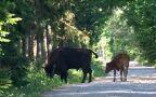 Stadko żubrów z bykiem