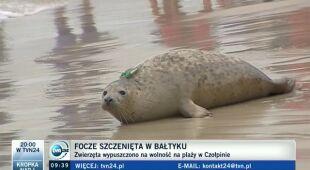 Helskie foki na wolności (TVN24)